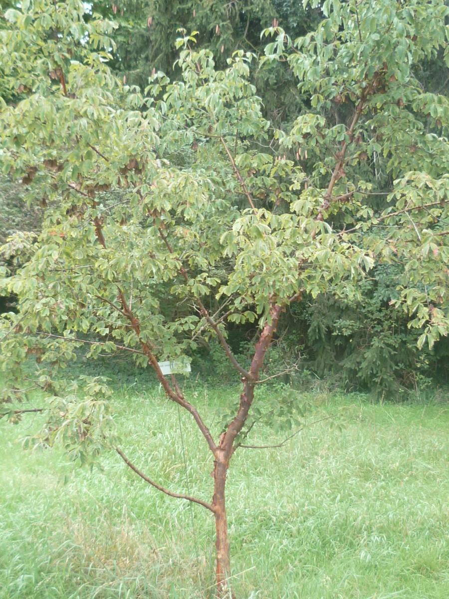 Image of Acer griseum: http://semantic-forms.cc:1952/ldp/1524897729603-40578676392530934