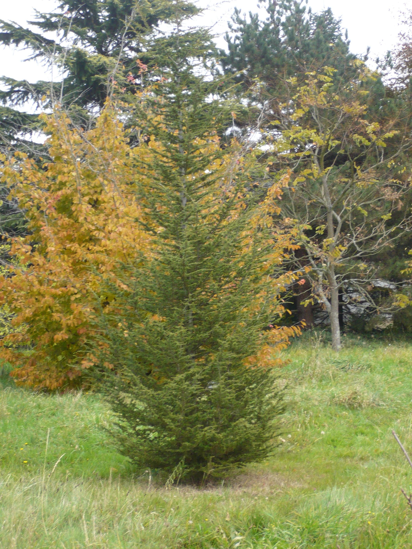 Image of Cyprus_Cedar#: http://semantic-forms.cc:1952/ldp/1525023521580-40704468369504806