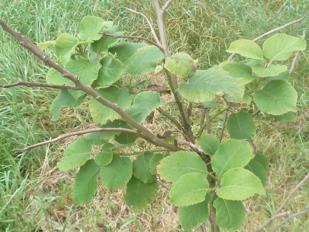 Image of Ehretia_dicksonii#: http://semantic-forms.cc:1952/ldp/1514891223777-30572170566158568