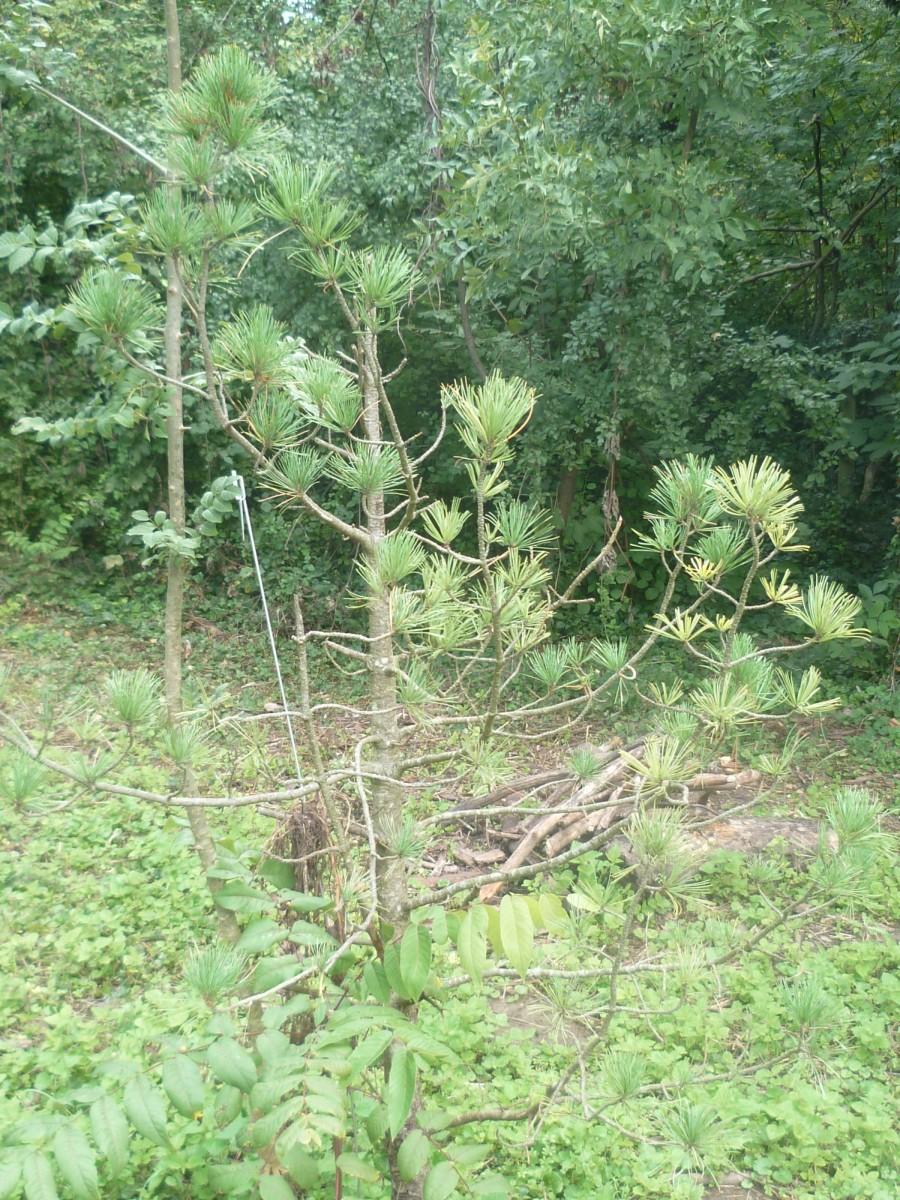 Image of Pinus cembra: http://semantic-forms.cc:1952/ldp/row-93