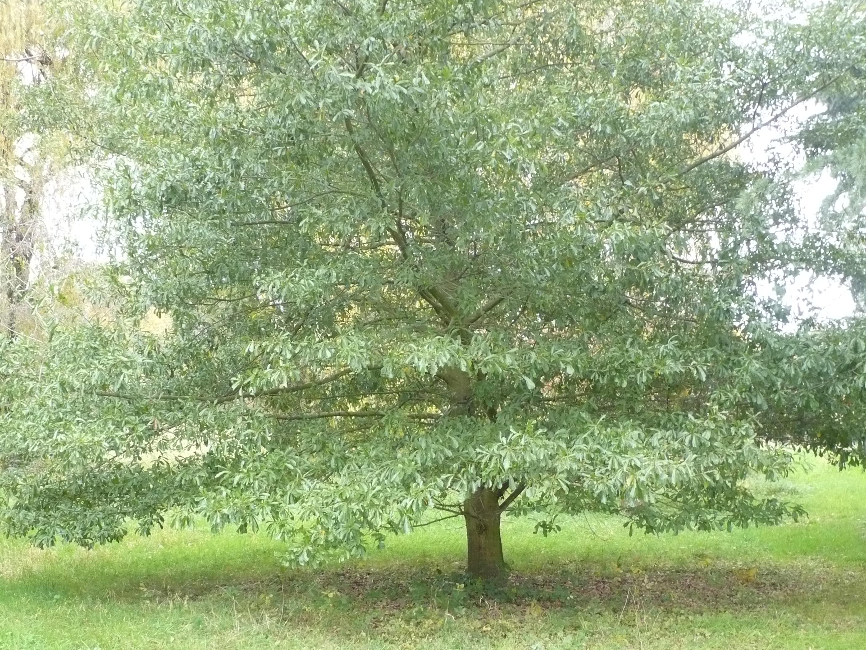 Quercus Nigra Quercus nigra lacoin 93Quercus Nigra Buds